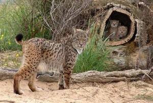 Doñana Lynx espagnol